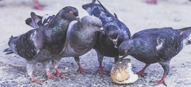 Gołębie w mieście